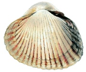 Coquille (définition)